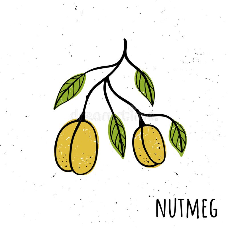 Nutmeg. Vector illustration with a plant. Hand drawn style royalty free illustration
