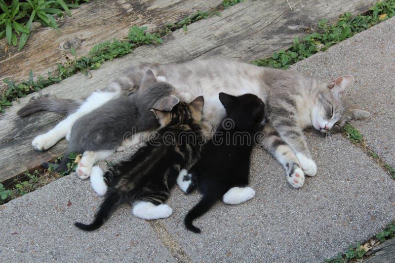 Nutrição do gato da mãe e dos três gatinhos imagem de stock