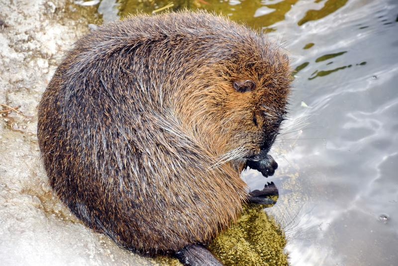 Nutria关心和洗澡的Myocastor巨水鼠 免版税库存照片