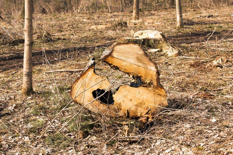 被锯的树 库存照片