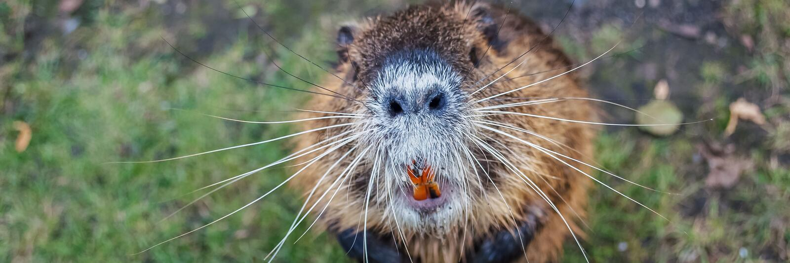 Nutria animal stands on its hind legs looking up royalty free stock photo
