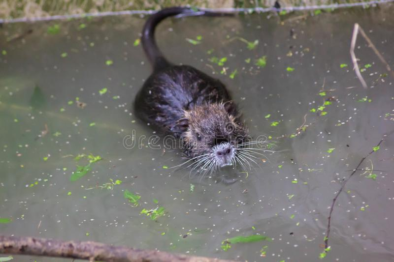 Nutria or beaver of the marshes. This species is native to the southern part of the South American continent, from Paraguay and fr. Om central and southern stock images