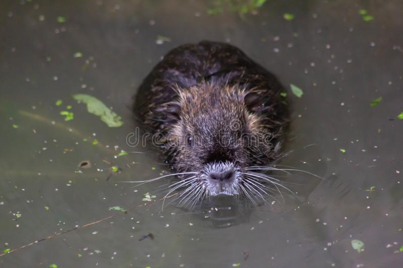 Nutria or beaver of the marshes. This species is native to the southern part of the South American continent, from Paraguay and fr royalty free stock photos