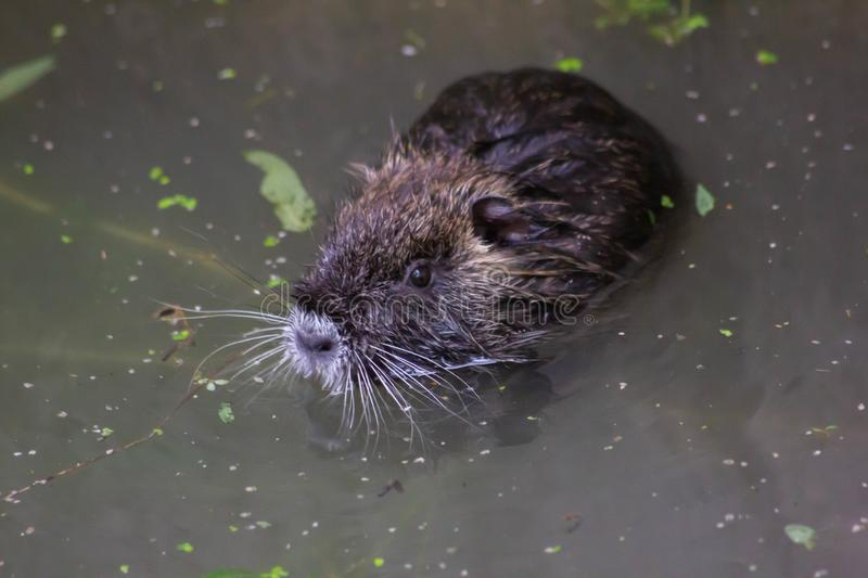 Nutria or beaver of the marshes. This species is native to the southern part of the South American continent, from Paraguay and fr. Om central and southern stock photo