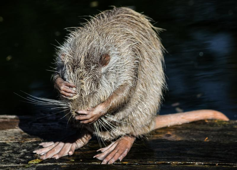 Nutria close up. Very funny coypu portrait. Posing nutria. Zoo animals.  royalty free stock image