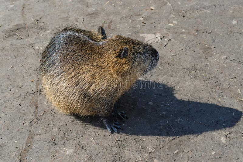 Nutria common in urban landscape royalty free stock photo