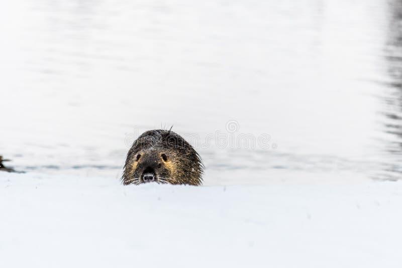 Nutria curioso grande do coypu na neve perto do rio fotos de stock royalty free