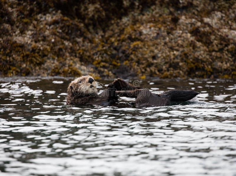 Nutria de mar de Alaska en la bahía imagen de archivo