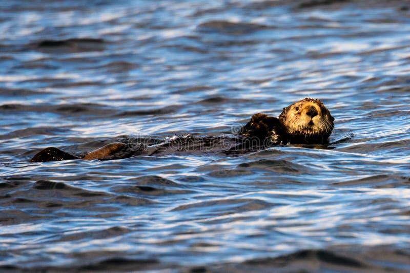 Nutria de mar relajada fotos de archivo