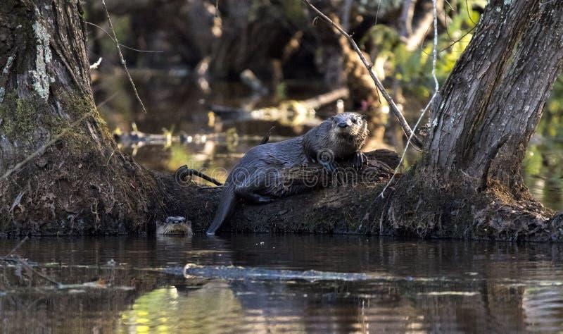 Nutria de río dos en el pantano del castor, Georgia los E.E.U.U. imagen de archivo
