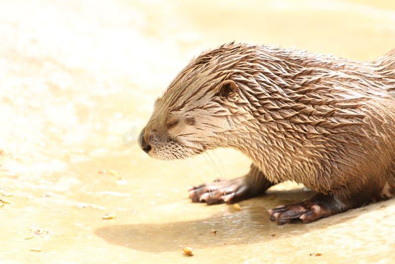 Nutria de río en el parque zoológico de Dakota imagen de archivo libre de regalías