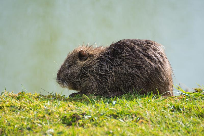 Nutria eating and enjoying the sun at riverbanks in Paris stock photo