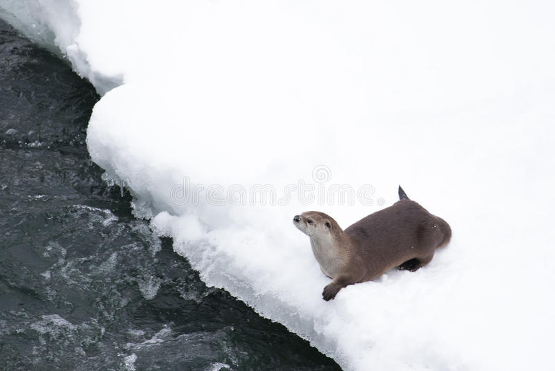 Nutria en un riverbank nevoso imagen de archivo