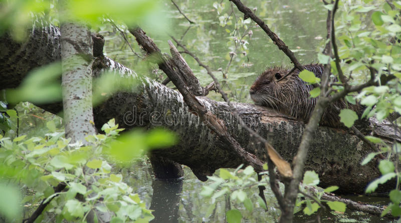 Nutria igualmente conhecido como o coypu e o rato do rio imagens de stock royalty free