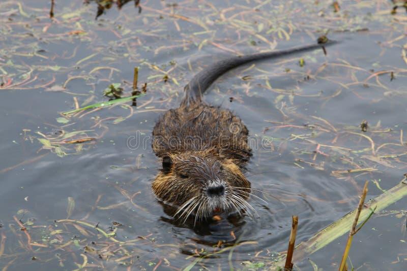 Nutria lives at Lake Hula. Likes marshy banks of rivers and lakes stock photos