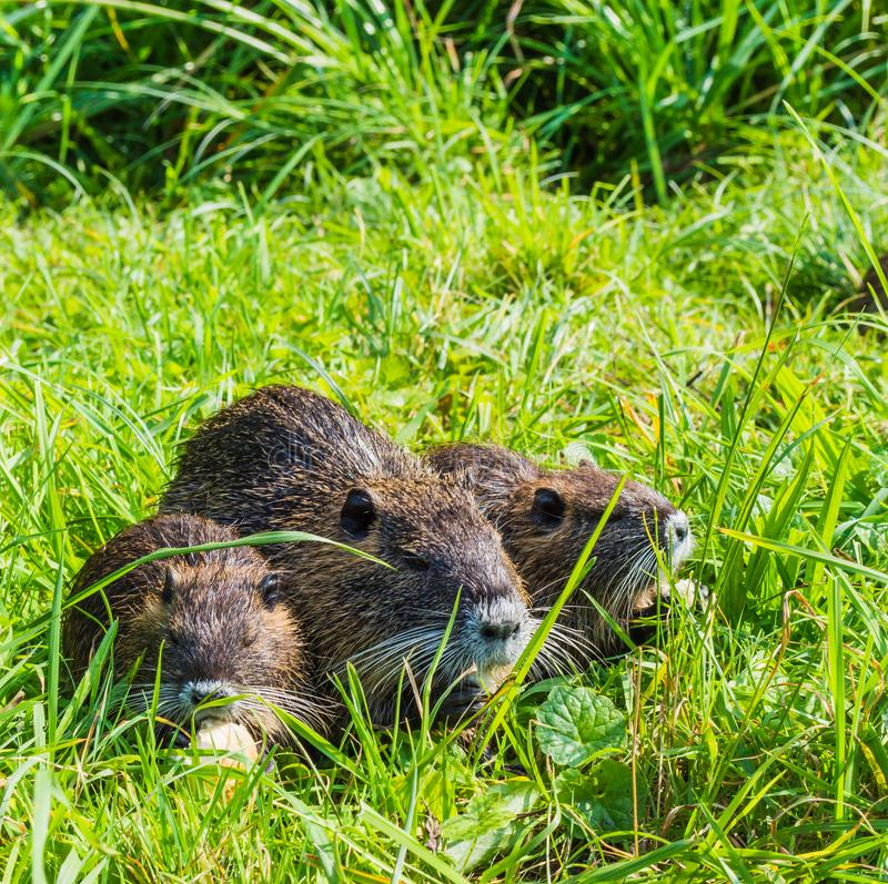 Nutria Mother stock images