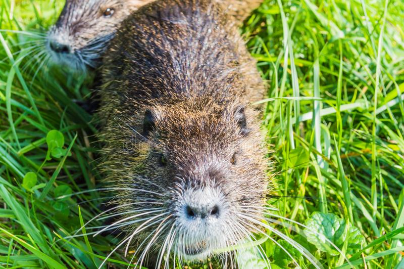 Nutria Mother royalty free stock image
