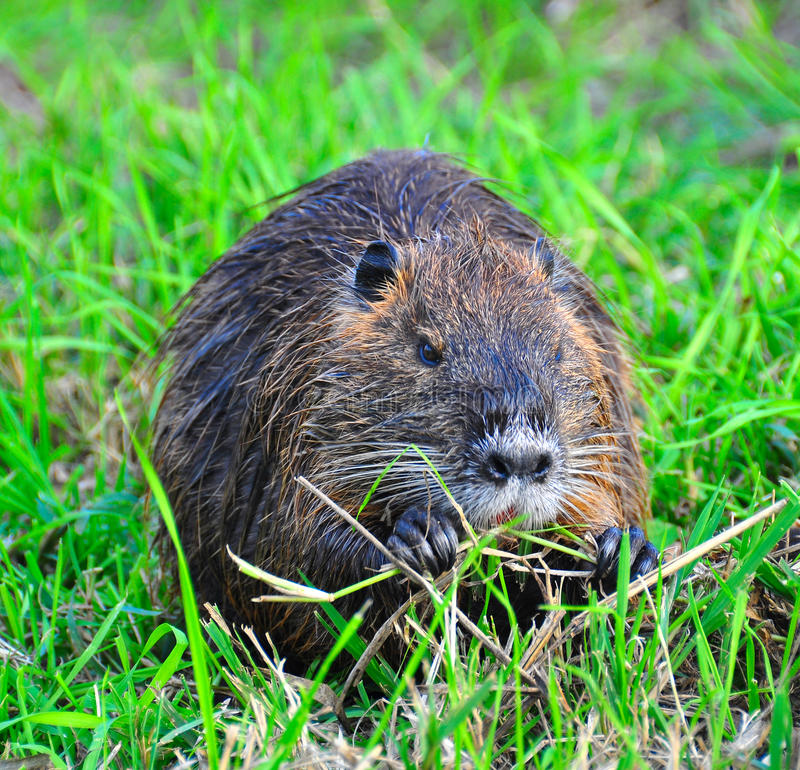 Nutria munching, Ahula, Israel stock photography