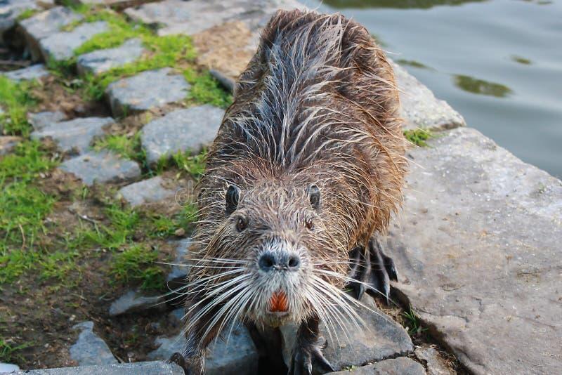 Nutria near the lake in the city park. Animals in the city. Water rat. Nutria on the bank of the city park`s lake. Furry water rat looking straight closeup stock photo