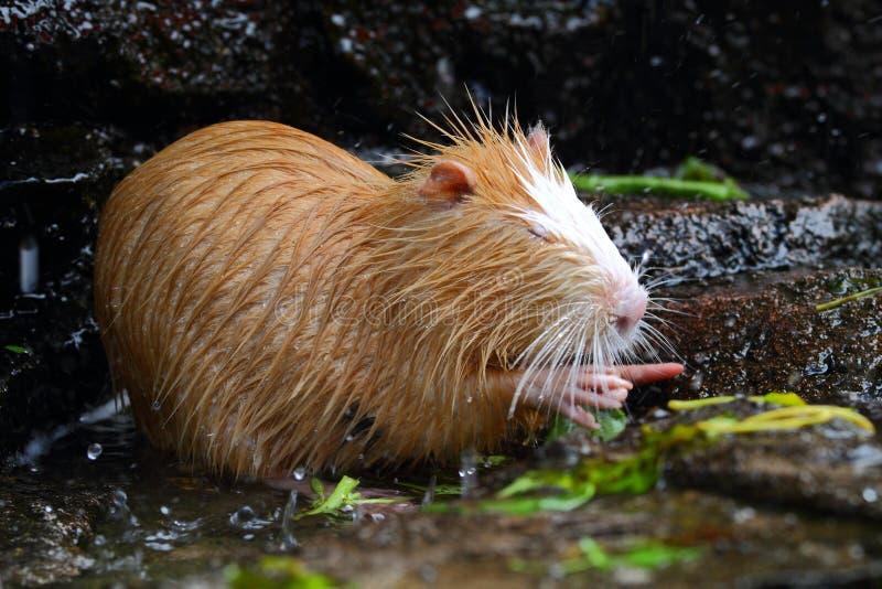 Nutria River Rat. Brown Nutria River Rat Eating royalty free stock photos