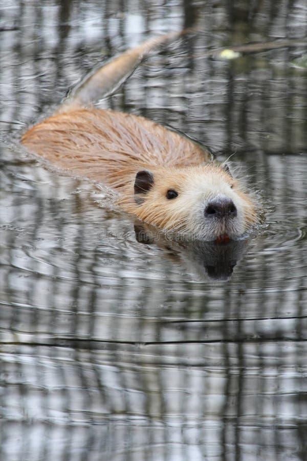 Nutria or river rat. Nutria, river rat or Myocastor coypus in water stock photos