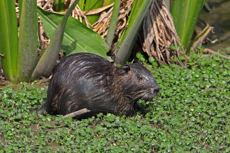 Nutria in a Shallow Pond - Beaumont, Texas. Nutria (Myocastor coypus) in a Shallow Pond - Beaumont, Texas stock photography