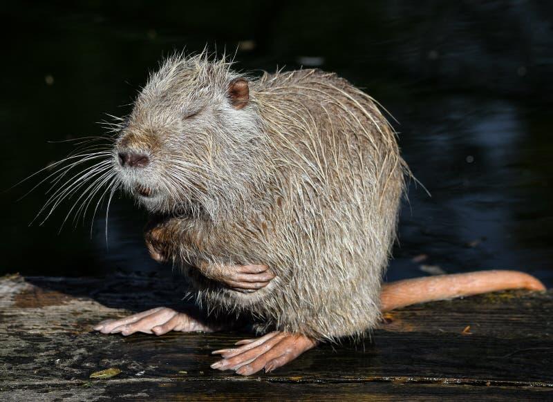 Nutria slut upp Mycket rolig coypustående Posera nutria Zoodjur arkivbilder