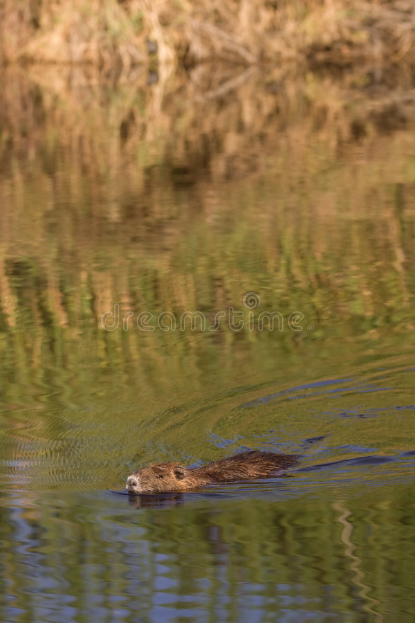 Nutria in water stock foto