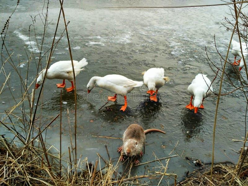 Nutria y gansos divertidos sorprendidos imagen de archivo libre de regalías