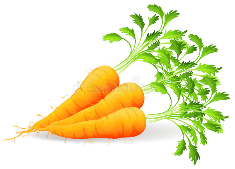 Nutritious carrots vector illustration