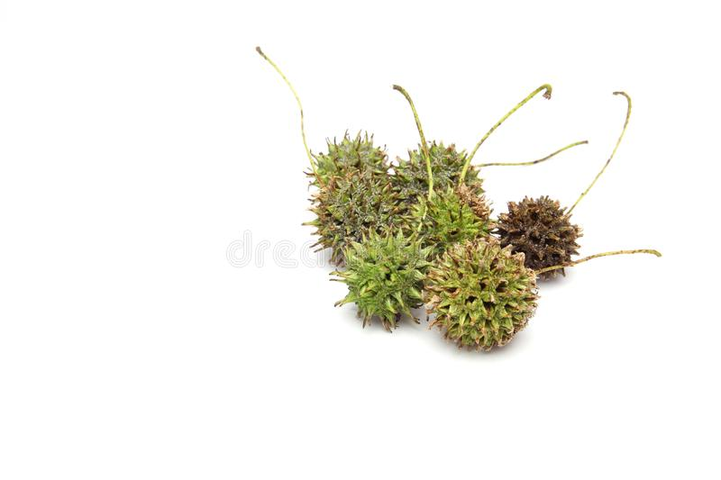 Nuts of american sweetgum in a white background stock images