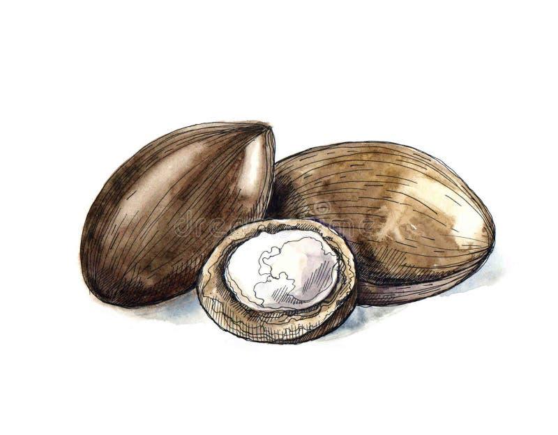 Nuts Anlage Aquarell-Sheas, Beere, tragen natürlicher organischer Butterbestandteil Früchte Übergeben Sie die gezogene Skizze gra lizenzfreie abbildung