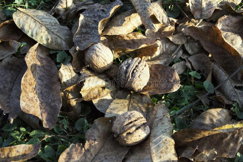 Nuts And Autumn Leaves. royalty free stock photo