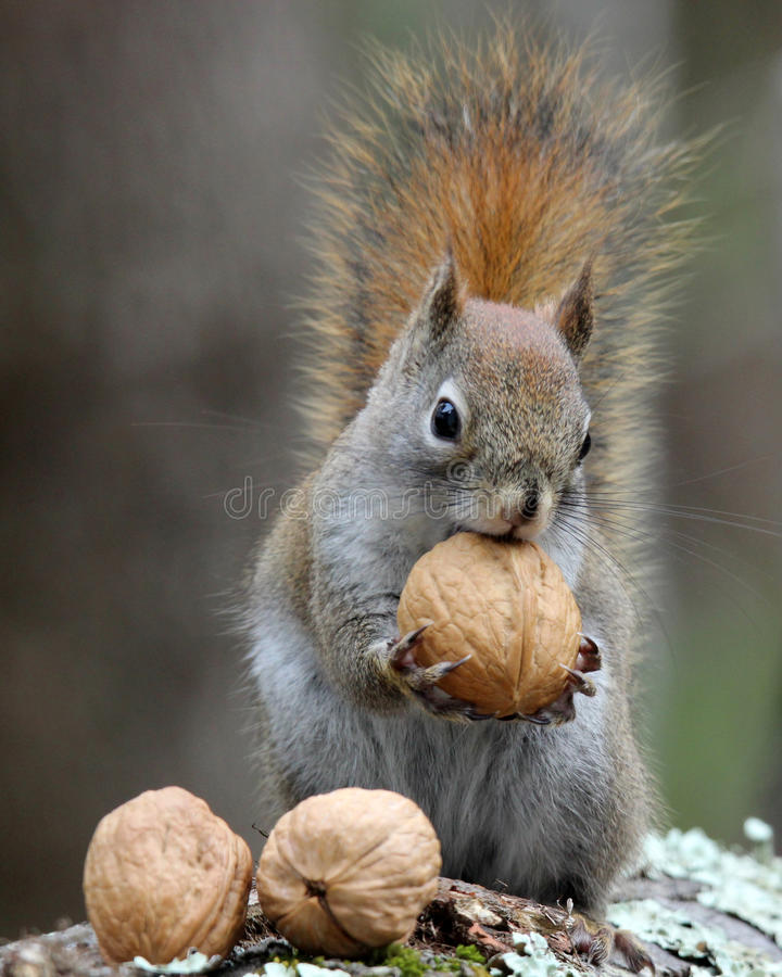 Free Nuts For Squirrels Stock Photo - 68938610