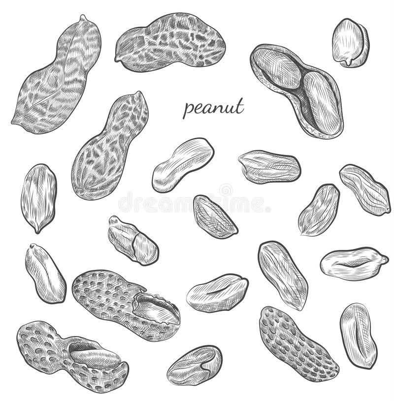 Peanut hand drawn illustration. Nuts and shells sketches isolated on white background stock illustration