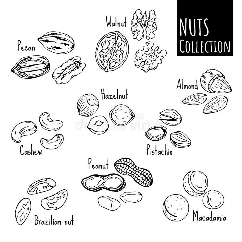 Nuts Skizze stock abbildung