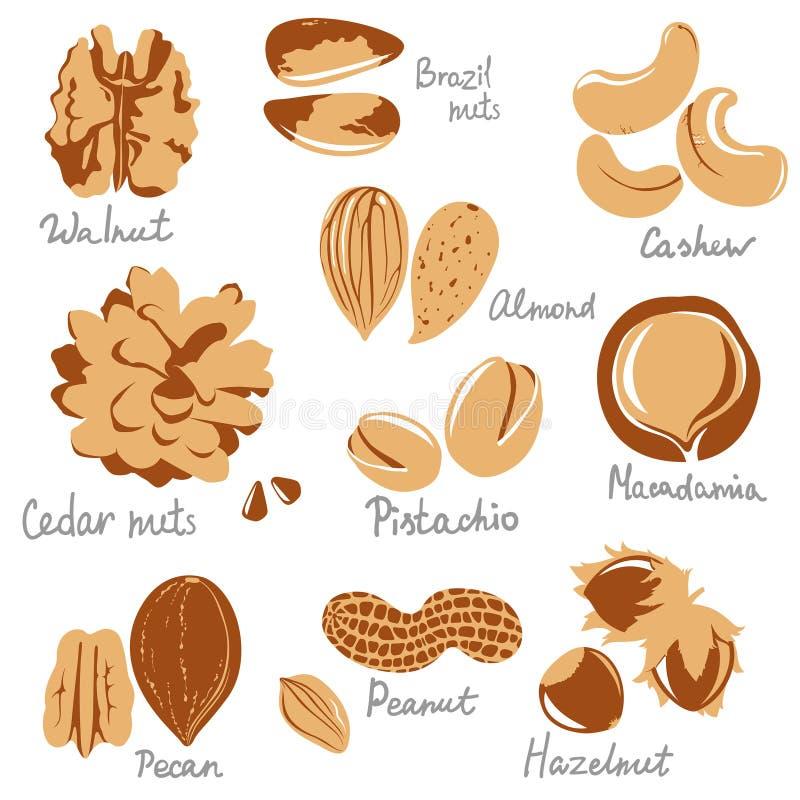 Download Nuts stock vector. Illustration of illustration, design - 36817463