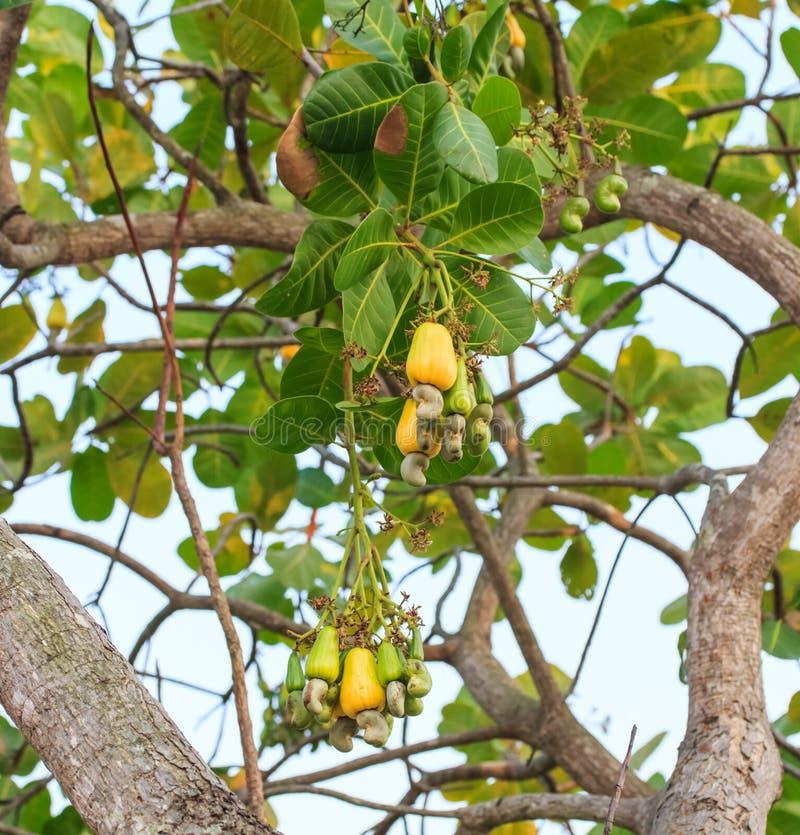 nuts tree för cashew arkivbild