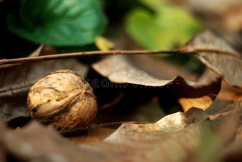 Nuts under autumn leaves royalty free stock images