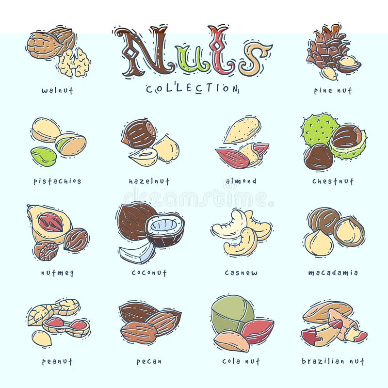 Nuts vector nutshell of hazelnut almond and walnut nutrition illustration set cashew peanut and chestnut with nutmeg royalty free illustration