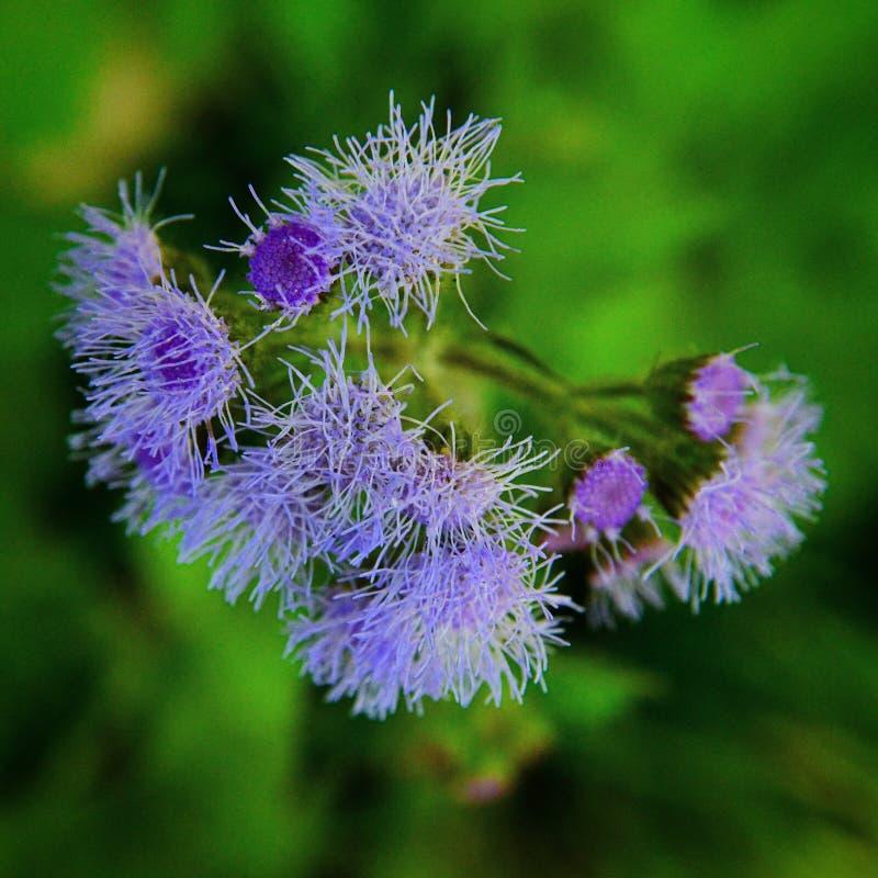 Nuture con i fiori porpora immagine stock
