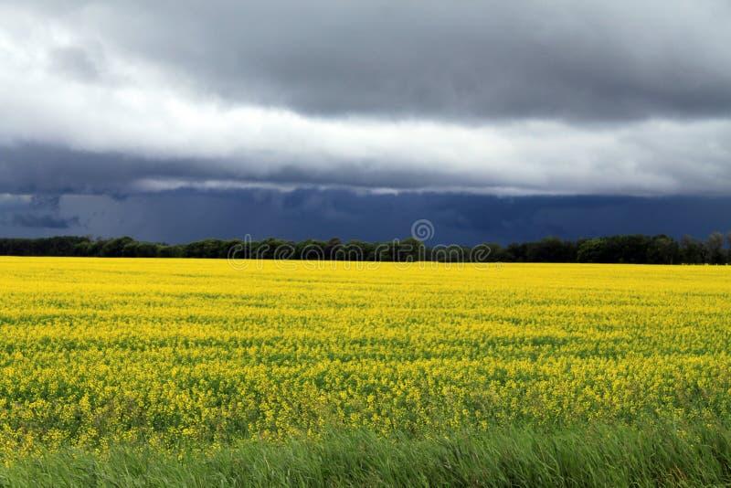 Nuvens escuras, sinistras sobre o campo do Canola de Manitoba na flor imagem de stock