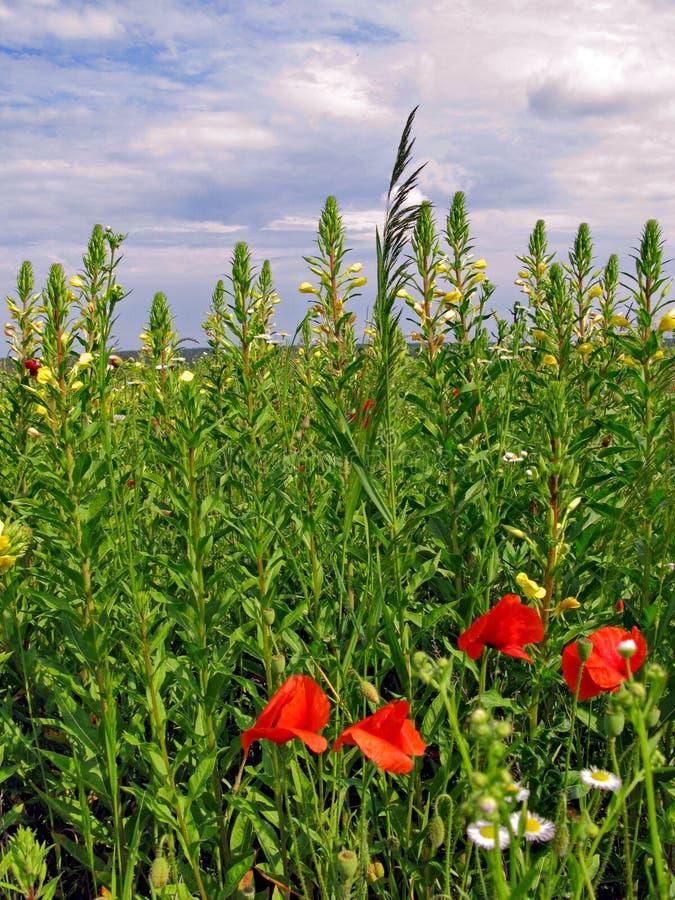 Nuvole basse dense nel cielo un giorno di estate caldo che galleggia sopra il prato con i fiori di vari colori fotografia stock