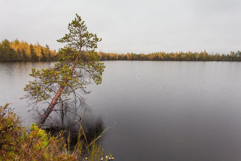 Nuvole con pioggia sopra il lago e solo scuri sopra il pino dell'acqua nella caduta fotografia stock