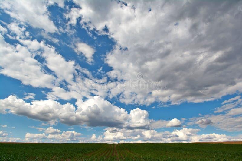 Nuvole di Magnificient sopra un campo di mais verde fotografia stock libera da diritti