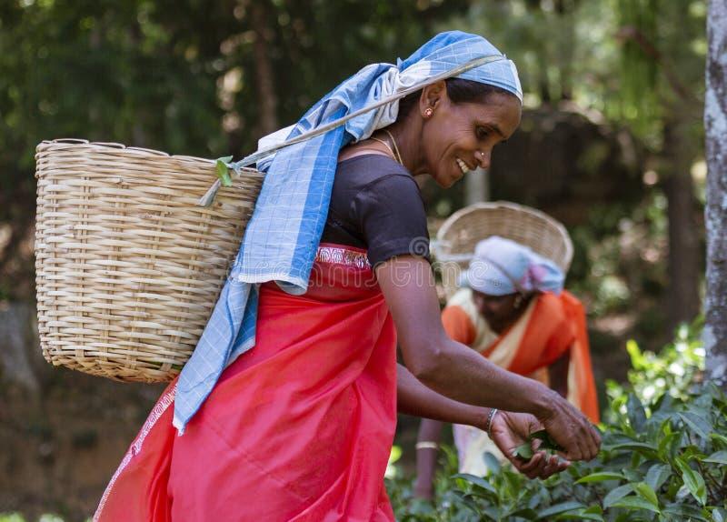 NUWARA ELIYA, Sri Lanka - de Vrouw plukt de Tedere Theebladen voor Oogst stock fotografie