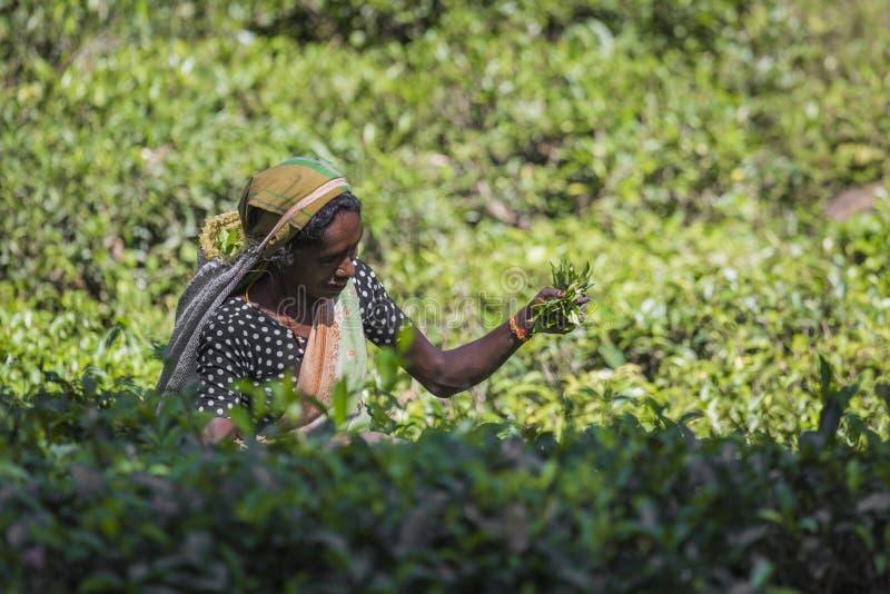 NUWARA ELIYA, SRI LANKA - 2 DICEMBRE: Raccoglitrice femminile del tè in tè fotografia stock libera da diritti