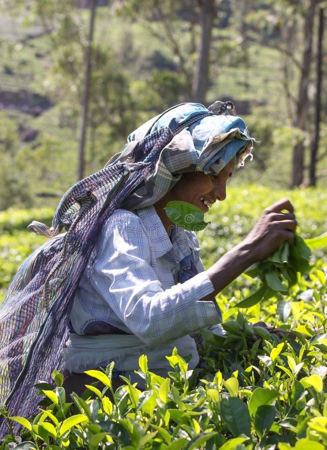 NUWARA ELIYA, SRI LANKA -04 JANUARY 2012: Tamil smiling woman from Sri Lanka breaks tea leaves on tea plantation with royalty free stock photo