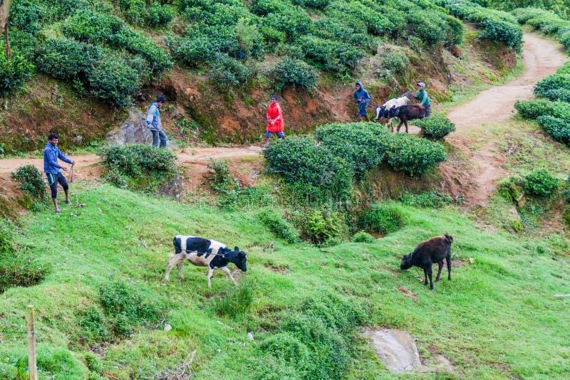 NUWARA ELIYA, SRI LANKA - 17. JULI 2016: Hirten mit Kühen in den Teegärten nahe Schleppseil Nuwara Eliya lizenzfreie stockfotos