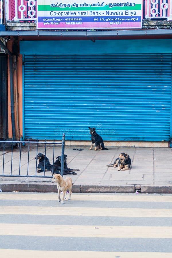 NUWARA ELIYA, SRI LANKA - 16. JULI 2016: Streunende Hunde auf einer Straße in Schleppseil Nuwara Eliya stockbilder